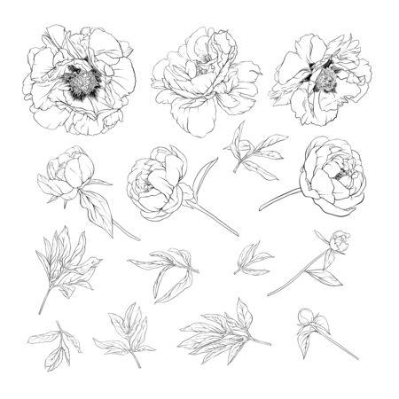 Flor de peonía. Elemento de diseño. Ilustración de vector de dibujo a mano de contorno. En estilo botánico aislado sobre fondo blanco.