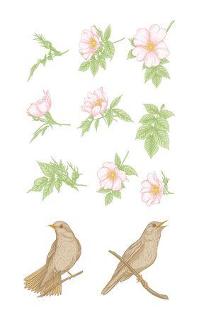Dog-rose, briar, brier, eglantine, canker-rose and nightingale. Set of elements for design. Graphic drawing, engraving style. Vector illustration. Ilustracja