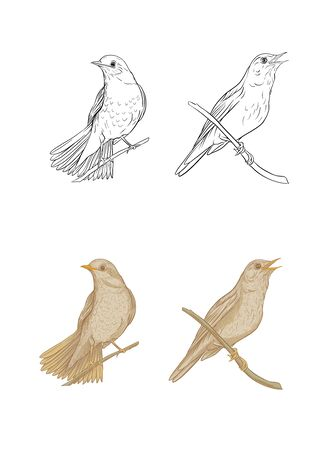 Nightingale. Set of elements for design. Graphic drawing, engraving style. Vector illustration color and outline.