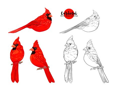 Cardinal birds - a symbol of Christmas. Set of elements for design Isolated on white background..Realistic sketch drawing. Colored and outline hand drawing vector illustration..