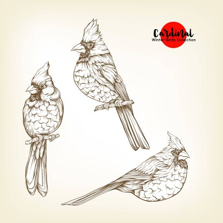 Cardinal birds - a symbol of Christmas. Set of elements for design Isolated on white background..Realistic sketch drawing. Graphic drawing, engraving style. Vector illustration..