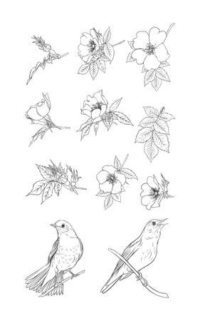 Dog-rose, briar, brier, eglantine, canker-rose and nightingale. Set of elements for design. Graphic drawing, outline. Vector illustration in black and white.