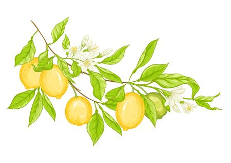 Lemon tree branch with yellow, green lemons, flowers and leaves. Element for design. Vector illustration. Isolated on white background..