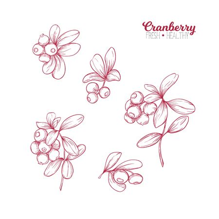 Cranberry. Element for design. Good for product label. Colored vector illustration. Graphic drawing, engraving style. Vector illustration.