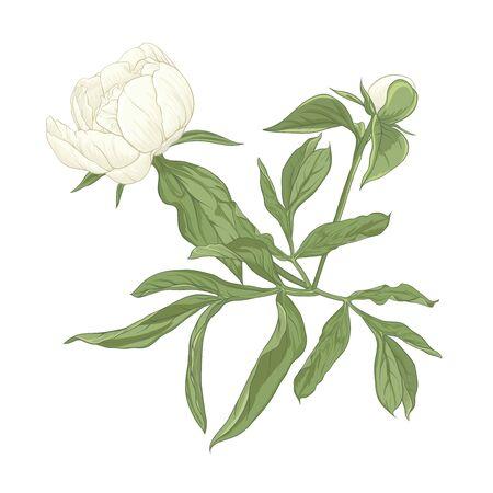 Flor de peonía. Elemento de diseño. Ilustración de vector de color. En estilo botánico aislado sobre fondo blanco.
