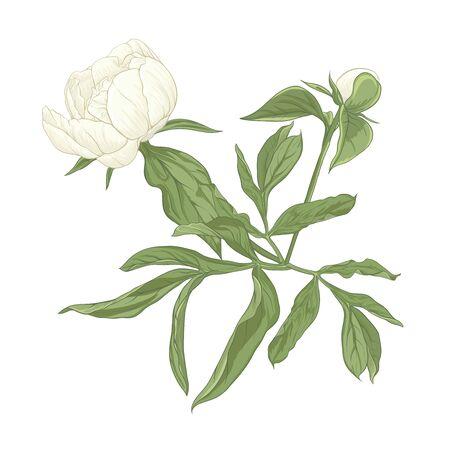 Peony flower. Element for design. Colored vector illustration. In botanical style Isolated on white background.. Banque d'images - 133840054