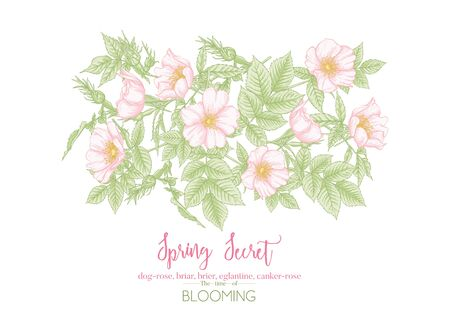 Dog-rose, briar, brier, eglantine, canker-rose. Template for wedding invitation, greeting card, banner, gift voucher with place for text. Graphic drawing, engraving style. Vector illustration. Illustration