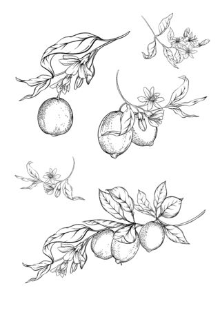 Lemon tree branch with lemons, flowers and leaves. Element for design. Outline hand drawing vector illustration. Isolated on white background