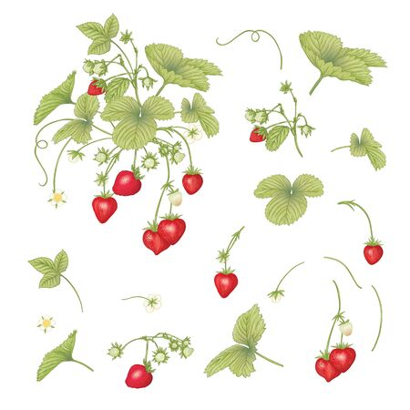 Strawberry branch with red berries. Clip art, set of elements for design Colored vector illustration. Isolated on white background.