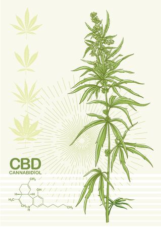 Hemp, Cannabis plant. Template, poster, card, good for product label. Vector illustration in natural green colors.. Vettoriali