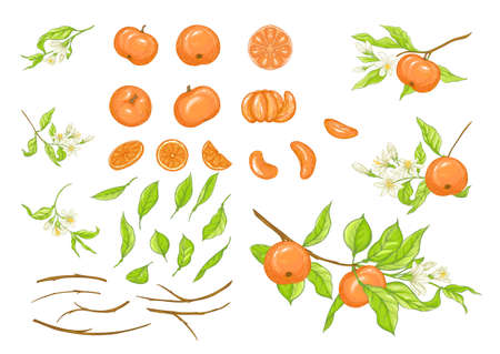 Mandarin, tangerine tree branch with fruits, flowers and leaves. Element for design. Graphic drawing, engraving style. Vector illustration. Isolated on white background. Vetores
