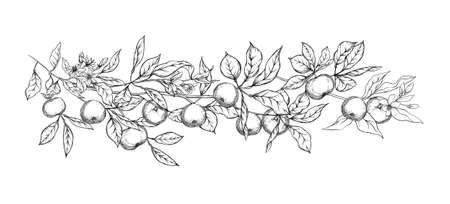 Mandarin, tangerine tree branch with fruits, flowers and leaves. Element for design. Graphic drawing, engraving style. Vector illustration. Isolated on white background.. Vector Illustratie