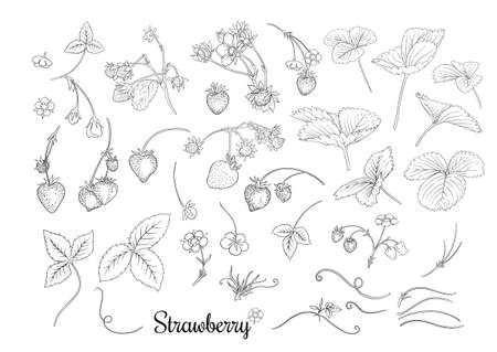 Strawberry branch with red berries. Clip art, set of elements for design Outline vector illustration. Isolated on white background.