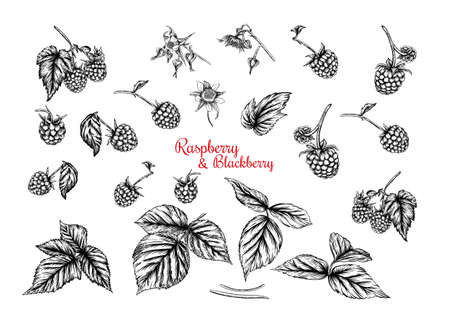 Raspberry and Blackberry. Ripe berries on branch. Clip art, set of elements for design Graphic drawing, engraving style. Vector illustration.. Ilustração