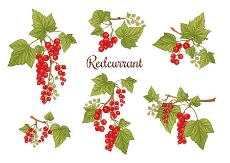 Red currant. Ripe berries on branch. Clip art, set of elements for design. Graphic drawing, engraving style. Vector illustration.
