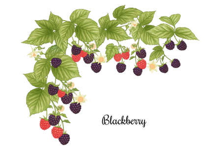 Blackberry. Ripe berries on branch. Clip art, set of elements for design Graphic drawing, engraving style. Vector illustration..