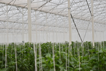 bell peppers greenhouse in mexico