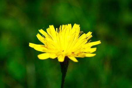 Zonnebloemen met de macro objectief opgenomen