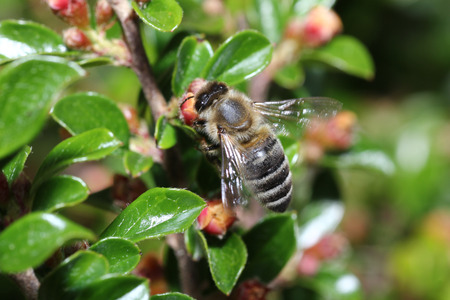 Wild bees are all bee species of the apoidea with the exception of honeybees and not about wild prototypes or wild strains of the honeybee