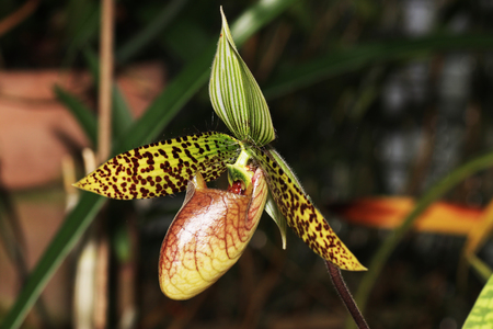 The orchids or Orchidaceae (Orchidaceae) are a worldwide plant family.