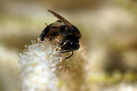A bee getting food from the flower stigma