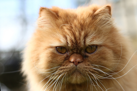 The Persian cat is one of the oldest and most popular breed cats, so it wants to play in the garden.