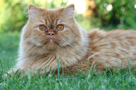 Although the Persian cat has only one nicely expressed freedom kite, it also wants play in the garden.