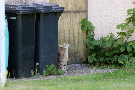 Small gray striped European Shorthair hunting for a butterfly