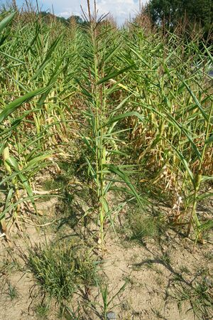 The extreme heat in germany leads to enormous losses in the harvest of corn and corn in agriculture