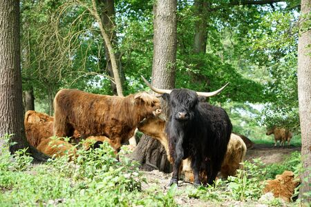 Scottish Longhorn cattle in the pasture near a creek in Germany 写真素材