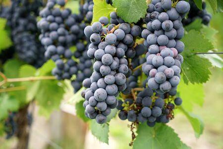 Il vino della regione del Danubio è gestito da specialisti in viticoltura ed è oggi una specialità ricercata