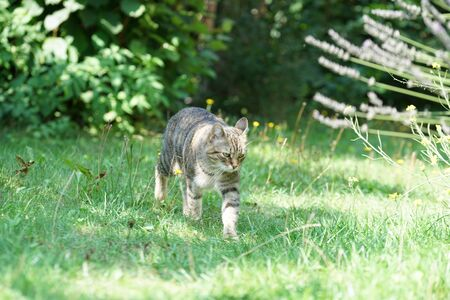Gray cat sits in the grass and waits for prey or what is coming Banco de Imagens