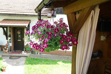 Geraniums and petunias are easy-care plants and are particularly suitable as potted plants to beautify the house
