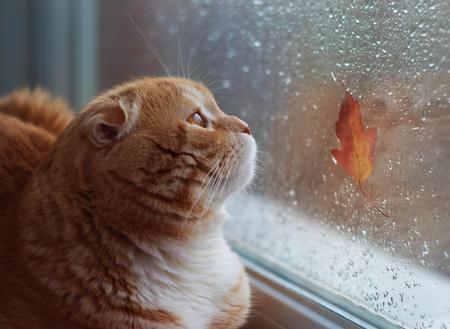 Die rote Katze schaut auf einem Herbstblatt aus dem Fenster. Herbstkatze auf einem Fensterbrett Standard-Bild