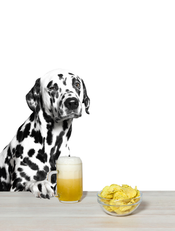 beerfest: Dalmatian drinking beer and chips. White background