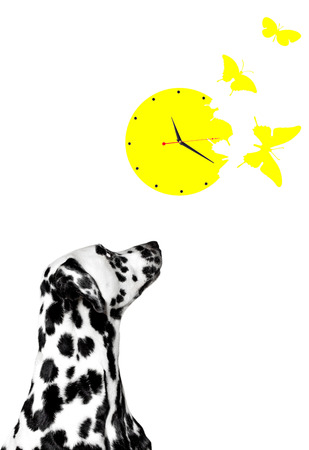 yellow butterflies: Dalmatian looks at the clock with yellow butterflies Stock Photo