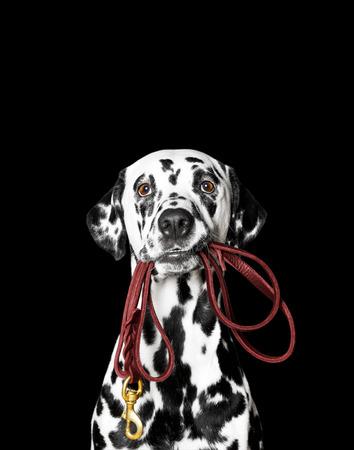 Dalmatiner hält die Leine im Maul