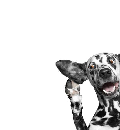 犬耳の大きな関心と小耳に挟む