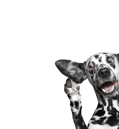 Hund belauschen mit Interesse mit einem großen Ohr Standard-Bild