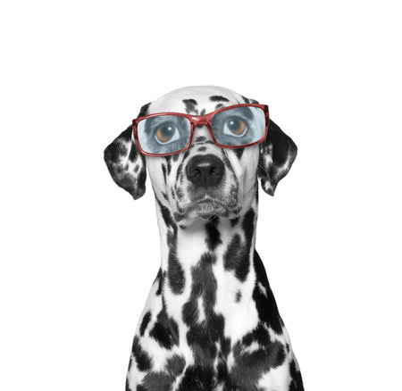 poor eyesight: dog wears glasses. he has very poor eyesight. His eyes are huge and funny