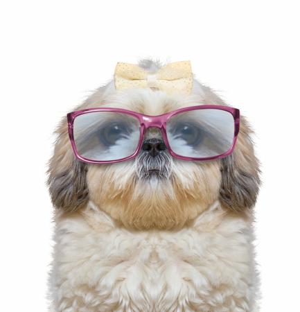 개는 안경을 쓴다. 그는 매우 시력이 나쁩니다. 그의 눈은 크고 재미있다.