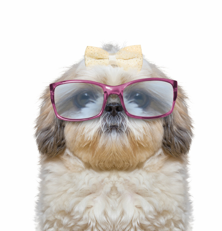 dog wears glasses. he has very poor eyesight. His eyes are huge and funny