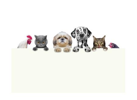 犬、猫、鶏、白い背景で隔離 - 足のフレームを保持しているコック