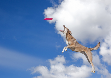 playful behaviour: Dog is going to catch disc in the blue sky Stock Photo