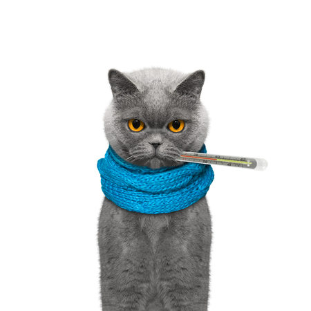 Cat is sick and measures the temperature -- isolated on white background