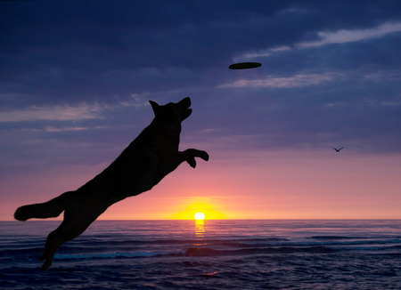 dog is playing on the beach at sunset