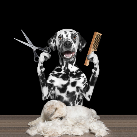 grooming: dog doing groomung with scissors and comb -- isolated on black Stock Photo