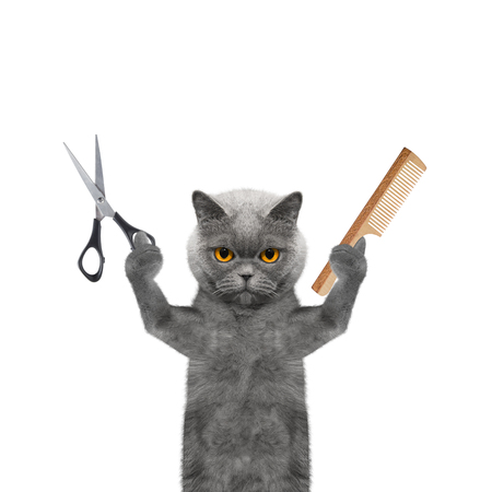cat grooming: cat doing grooming with scissors and comb -- isolated on white