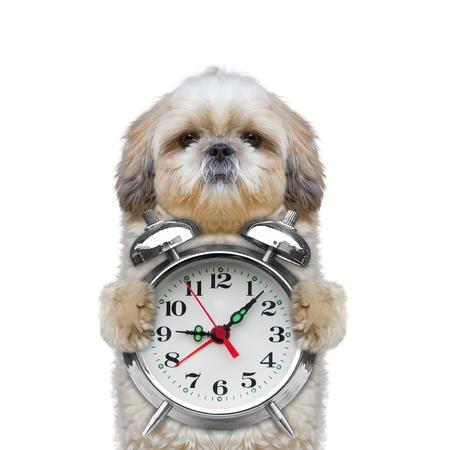 目覚まし時計ホワイトに分離された--彼の足を保持している犬