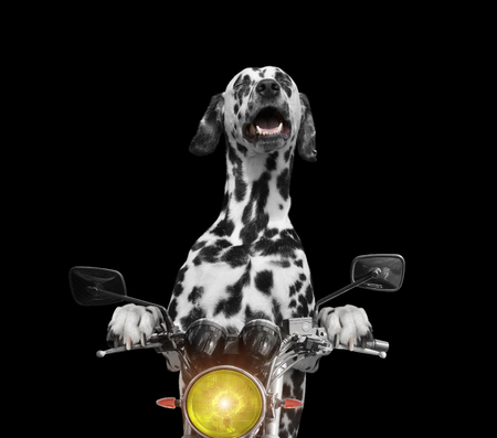 happy dog rides on a motorcycle -- isolated on black